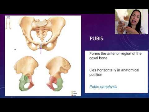 4. Coxal Bones: Ischium and Pubis
