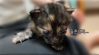 생후 2주차, 눈병 걸린 아기고양이