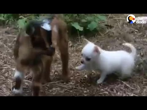 Puppy Thinks She's A Goat
