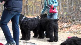 Koba and me on the Black Russian Terrier group walk