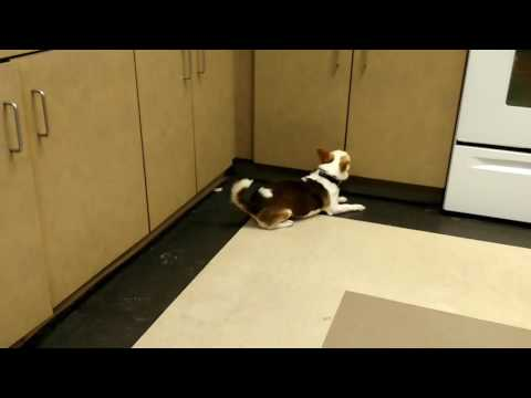 Scent detection Chihuahua