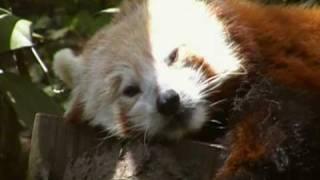 Rare Red Panda At The Bronx Zoo
