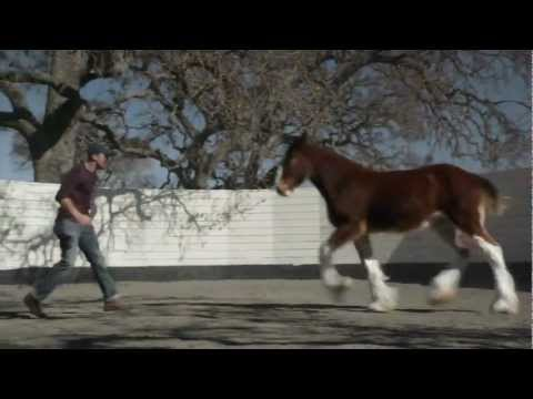 HD The Clydesdales Brotherhood - Budweiser Super Bowl Ad 2013 Super Bowl XLVII