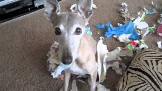 Dog Opens All Our Presents : (