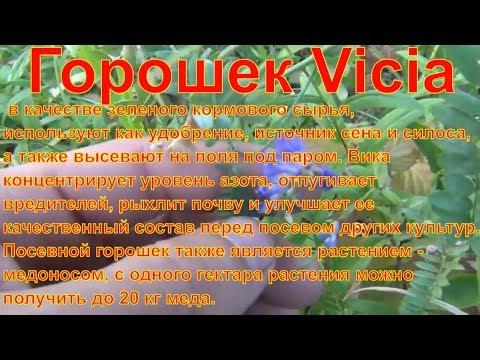 Горошек Vicia Что за растение лекарственные растения полей и лесов лекарственные травы лечебныетравы