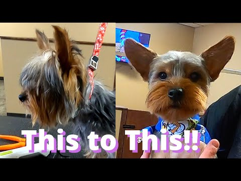 10 Month Old Yorkie Groom | VERY Overdue Haircut