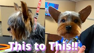 10 Month Old Yorkie Groom   VERY Overdue Haircut