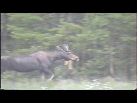 Yellowstone 1992 #7 Moose