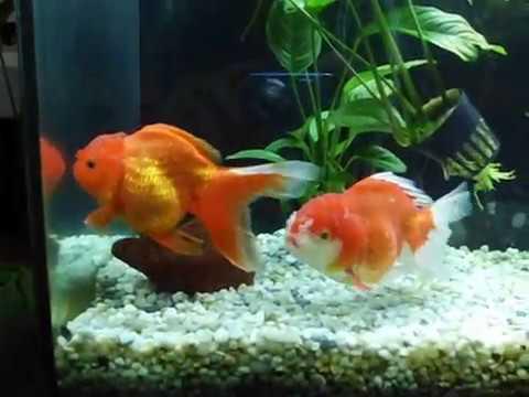 Acquario con pesci rossi tropical mania ciri via lanzo 91 for Pesci rossi acquario