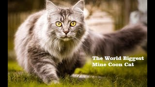 The World Biggest (Mine Coon) Cat) Videos