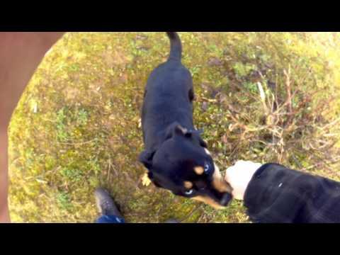 Siberian Husky cross rottweiler
