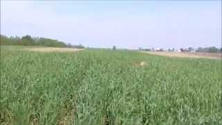 Ohio Wheat Field Fun & Hunting Quail Under Sc Pines