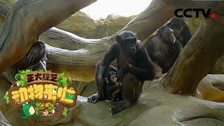 [正大综艺·动物来啦]在野外黑猩猩族群为避免近亲繁殖会做出什么举动| CCTV