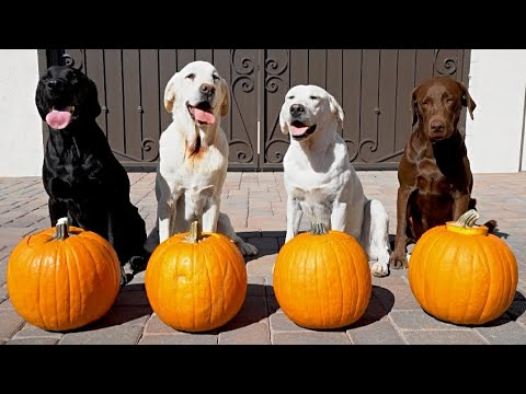 My Dog's Carve Pumpkins!!