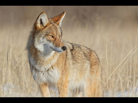 The Shapeshifter - Nature Documentary