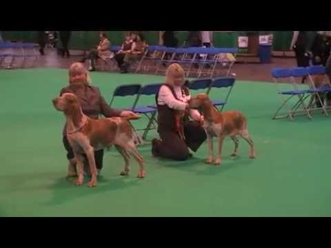 Crufts 2011 Bracco Italiano - Best of Breed Judging