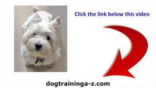 Barking Fox Terrier Problem - Barking Goes With The Fox Terrier Temperament