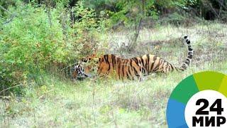 Кошачий праздник: в России отмечают День тигра - МИР 24