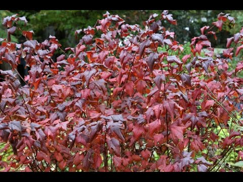 Comment tailler facilement un arbuste d 39 ornement youtube - Comment tailler un rhododendron ...