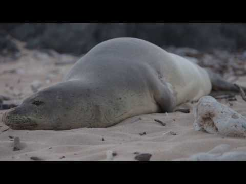 Monk seal Hawaii