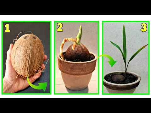 cocco, come far germogliare un cocco a costo zero