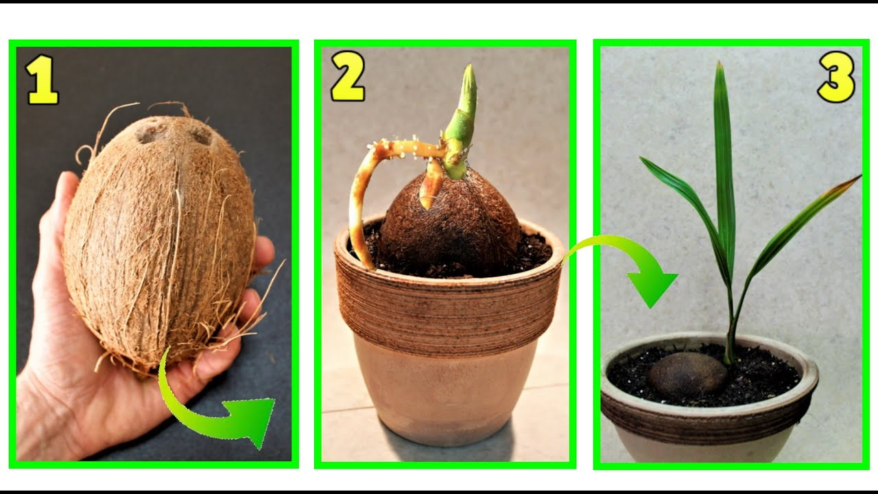 Come Piantare Il Mango cocco, come far germogliare un cocco a costo zero - youtube