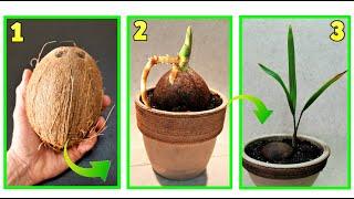 due metodi per far germogliare in modo facile una noce di cocco ed ...