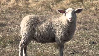 Shepherding 101: Reproduction