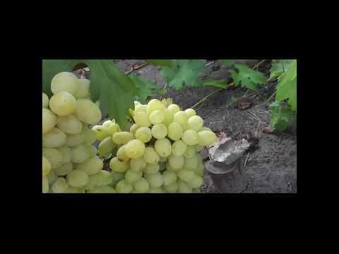 Новые гибридные формы винограда Голуба Анатолия Алексеевича