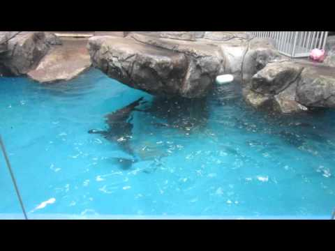 Sparky The Sea Lion Swims Como Zoo MN
