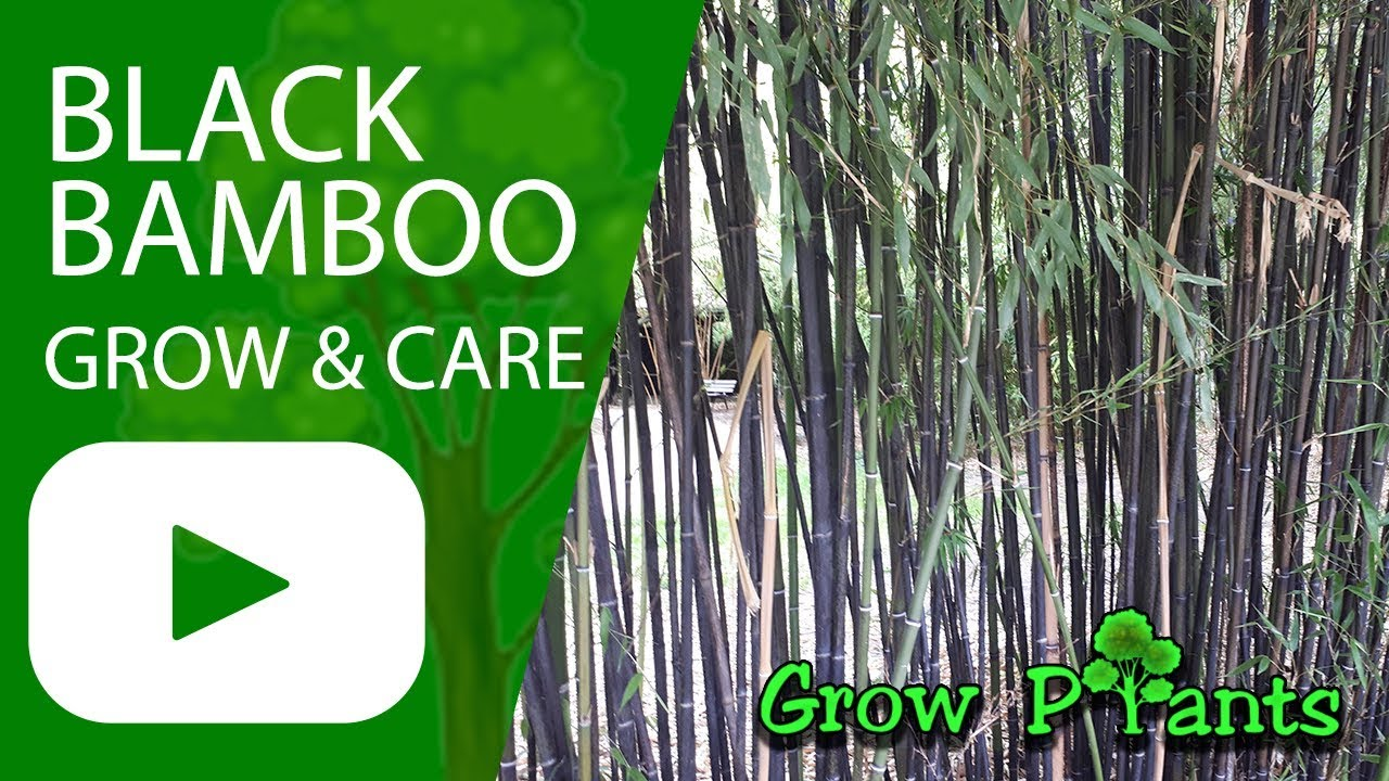 Black bamboo - grow & care