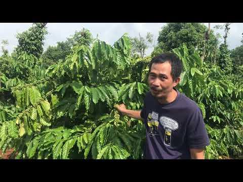 Cà Phê Rõ Nguồn - Cà phê Robusta vườn nhà, Cư-kuin, Daklak