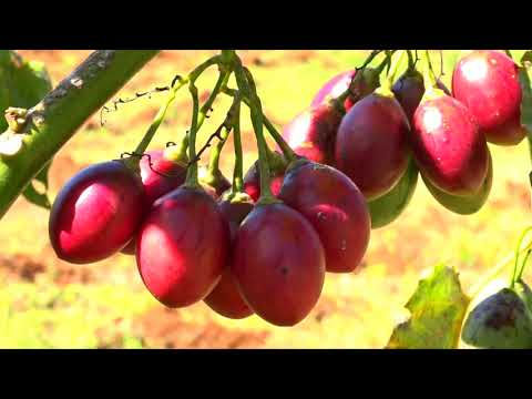 Tree Tomatoes with Oxfarm Organic