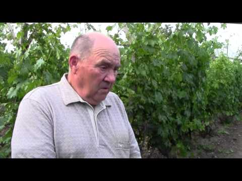 Вопрос: Как ухаживать за виноградом, накрывать ли на зиму, какие удобрения нужны?