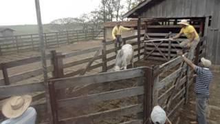 Embarcando boi Fazenda Estrela do Sul, Xambrê-Paraná