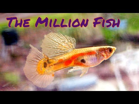 Guppies Are The BEST Tropical Fish! [Live Stream]