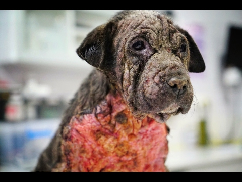 AMAZING TRANSFORMATION OF DOG WITH SKIN THAT BURNED LIKE FIRE ! JOIN ME ON HER JOURNEY HOME!