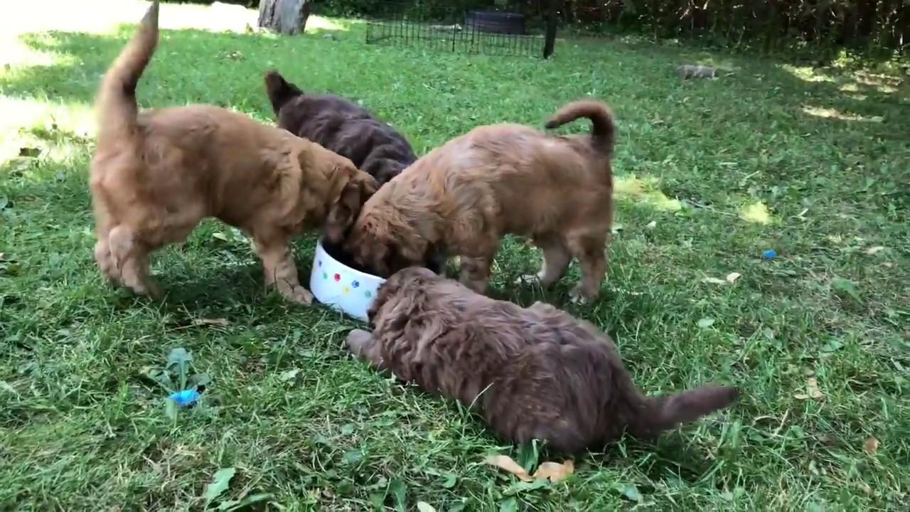 Aussiedoodle Puppies For Sale | Ontario | Amadeus AussieDoodles