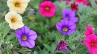 Como Cultivar Petúnias Em Seu Jardim