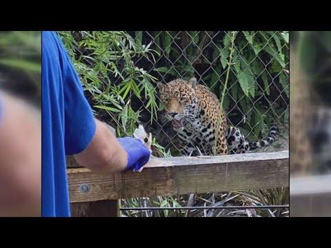 Man hospitalized after sticking his hand inside a jaguar exhibit