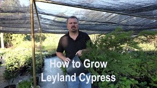 How to grow Leyland Cypress with  a detailed description