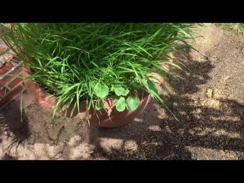 Kolbenhirse selber züchten im Garten oder Blumentopf