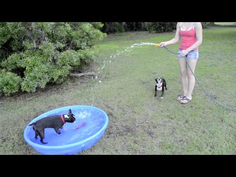 Boston Terrier vs Water Gator and his boys playing in the pool