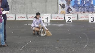 Ши-тцу, видео с выставки собак