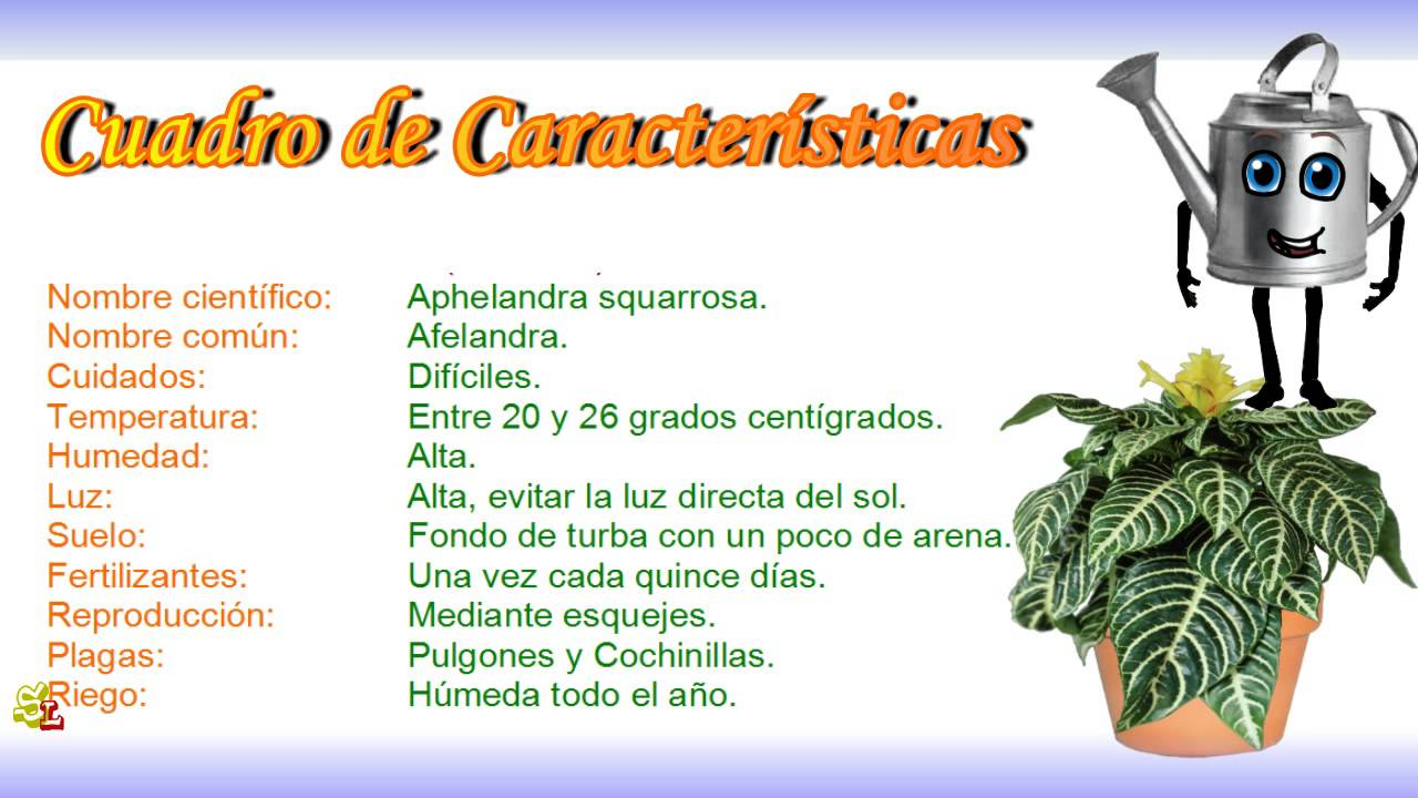 Aphelandra squarrosa afelandra plantas para interior - Como cuidar las hortensias de exterior ...