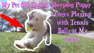 My Pet Old English Sheepdog Puppy Loves Playing with Tennis Balls at My Farm