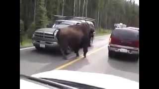 Bison on Road Бизон на дороге Юмор! Прикол! Смех