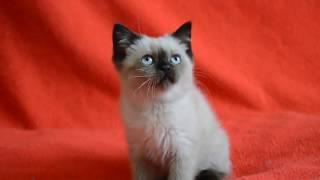 Купить шотландского котенка. Котята для Вас: шотландские прямоухие сил-поинт окраса.