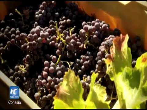 Calentamiento global cambia el color del vino