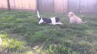 Beagle Vs Golden Retriever